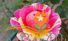Tìm hiểu kỹ thuật trồng hồng ngoại cơ bản, nhỏ đẹp cho ban công chung cư, sân vườn